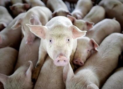 Вобласти принудительно разрезают свиней— очередная вспышка африканской чумы
