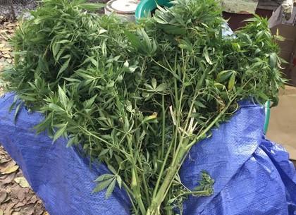 Пять килограммов сушенного каннабиса запас на зиму житель области