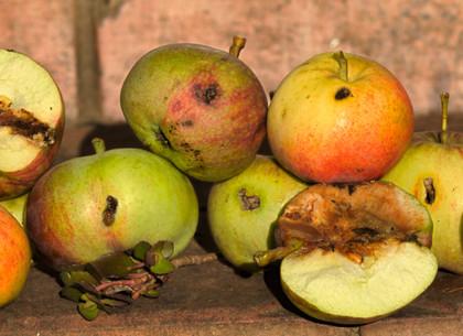 Десятая часть урожая яблок на Харьковщине поражена паршой и яблони - тлей и клещами