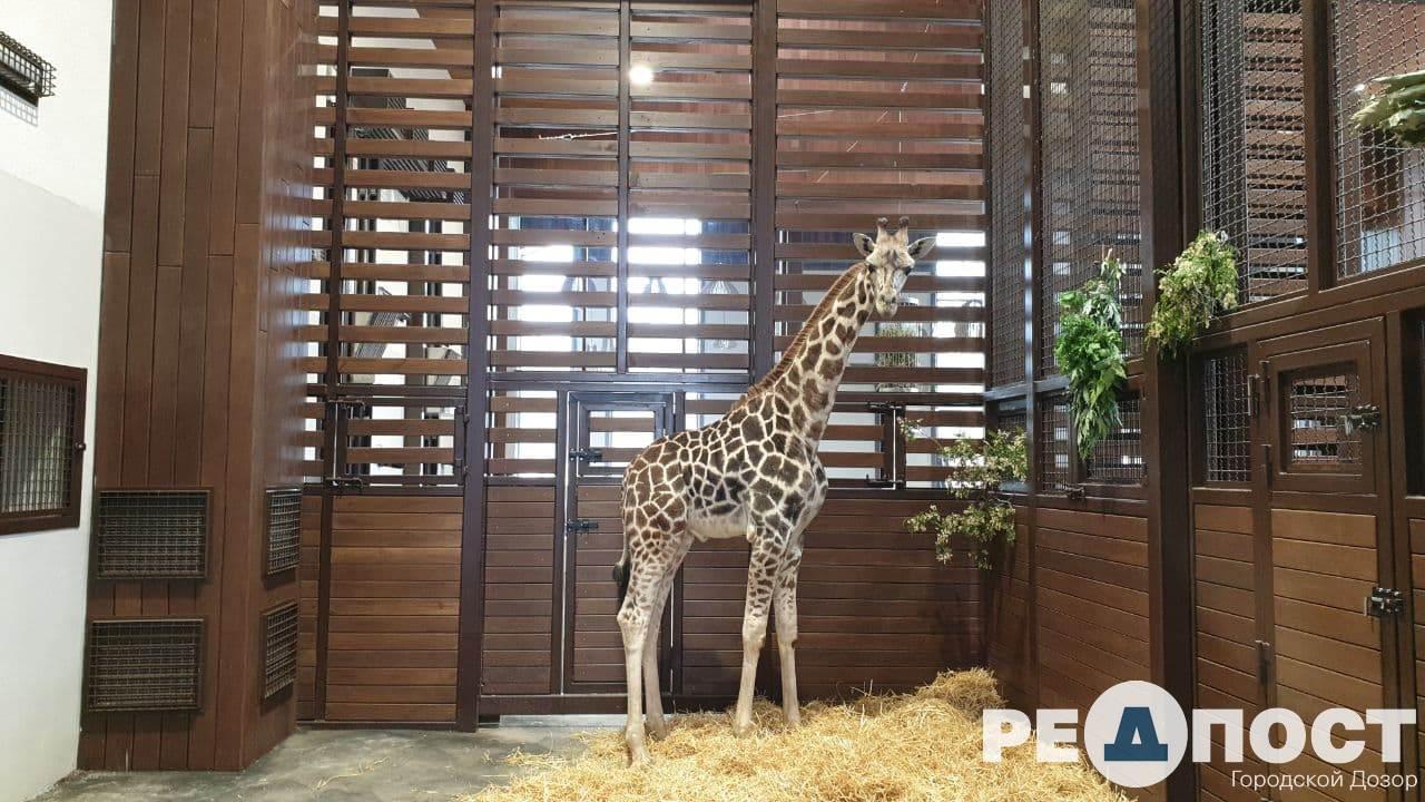 Жирафа, любящего музыку, привезли в Харьков из Одеского биопарка
