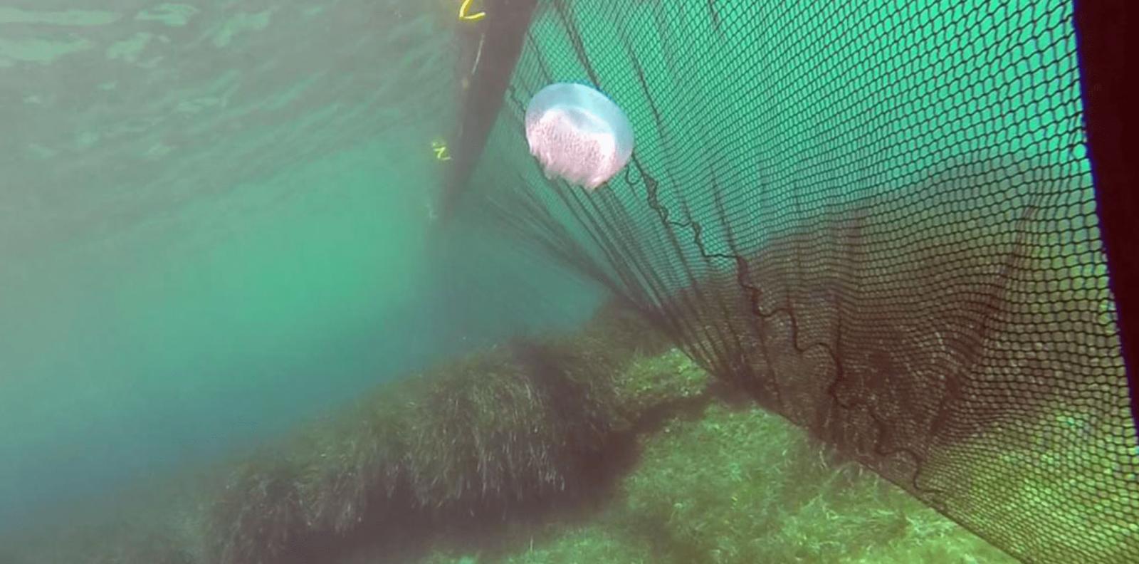 Медузы в Кирилловке ловят специальными сетями